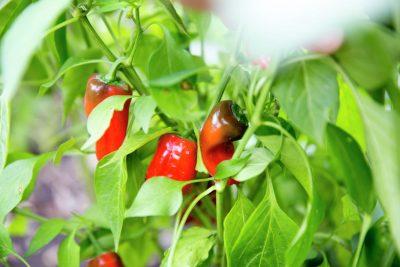GMOs, Marvel, or Malady?